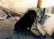 The Tibetan dogs